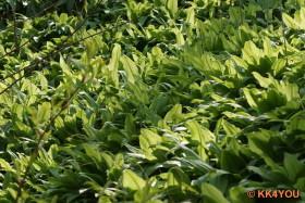 Waldrand voller Bärlauchpflanzen