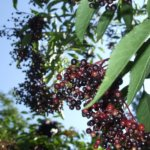 Holunder – Zwetschgen Marmelade