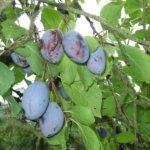 Zwetschgen Marmelade -Zwetschgen frisch vom Baum